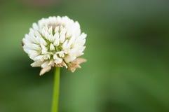 växt av släkten Trifoliumwhite Royaltyfria Foton