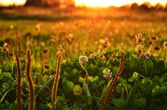 Växt av släktet Trifoliumäng royaltyfria bilder