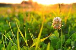 Växt av släktet Trifoliumäng royaltyfri foto