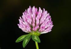 Växt av släktet Trifolium Royaltyfria Bilder