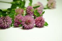 Växt av släktet Trifolium Fotografering för Bildbyråer