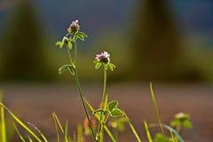 Växt av släktet Trifolium blomning, treklöver, trefoil, backlit av solen arkivfoton