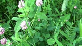 Växt av släktet Trifolium för änggräsrosa färger blommar panorama genom att använda steadicam Videomaterialrörelsekamera lager videofilmer
