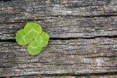 Växt av släktet Trifolium för fyra blad Arkivbild