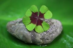 Växt av släktet Trifolium för fyra blad - naturlig grön bakgrund royaltyfri foto