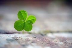 Växt av släktet Trifolium för fyra blad växer mellan förberedande stenar, symbolet för lycka, f arkivbild