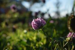 Växt av släktet Trifolium i en bakgrund för grönt gräs arkivfoton