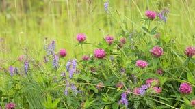 Växt av släktet Trifolium-krypning och ärta-mus fotografering för bildbyråer