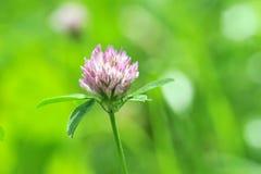 Växt av släktet Trifolium på grön bakgrund Royaltyfri Bild