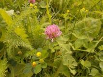 Växt av släktet Trifolium, svart läkare och yarrow royaltyfri foto