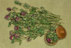 växt av släktet Trifolium trefoil torra örtar Växt- medicin, phytotherapy medici royaltyfria bilder