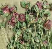 växt av släktet Trifolium trefoil torra örtar Växt- medicin, phytotherapy medici royaltyfri fotografi