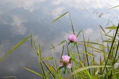 Växt av släktet Trifolium vid sjön Arkivbild