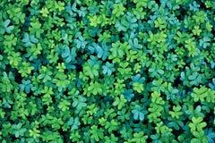 Växt av släktet Trifoliumbakgrund för blå gräsplan Arkivbild