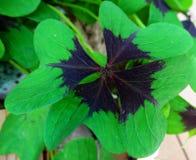 Växt av släktet Trifoliumblad Arkivfoto