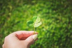 Växt av släktet Trifoliumblad lycklig patrick s för dag st Arkivbild