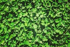 Växt av släktet Trifoliumblad lycklig patrick s för dag st Royaltyfria Bilder