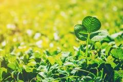 Växt av släktet Trifoliumblad lycklig patrick s för dag st Royaltyfri Fotografi