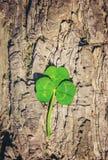 Växt av släktet Trifoliumblad lycklig patrick s för dag st Arkivbilder
