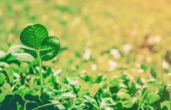 Växt av släktet Trifoliumblad lycklig patrick s för dag st Royaltyfri Bild