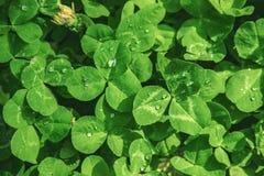 Växt av släktet Trifoliumblad lycklig patrick s för dag st Fotografering för Bildbyråer
