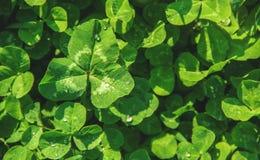 Växt av släktet Trifoliumblad lycklig patrick s för dag st Arkivfoton