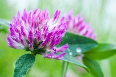 Växt av släktet Trifoliumblomma Royaltyfri Foto