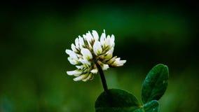 Växt av släktet Trifoliumblomma Fotografering för Bildbyråer