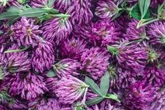 Växt av släktet Trifoliumblomma Royaltyfri Bild