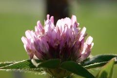 Växt av släktet Trifoliumblomma Royaltyfria Foton