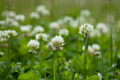 Växt av släktet Trifoliumblommor Arkivbilder