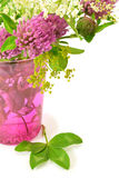 Växt av släktet Trifoliumblommor Arkivbild
