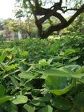 Växt av släktet Trifoliumfält Royaltyfri Fotografi
