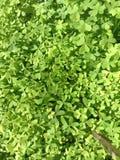 Växt av släktet Trifoliumfält Royaltyfri Foto