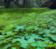 Växt av släktet Trifoliumfält arkivfoton