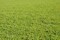 Växt av släktet Trifoliumfältbakgrund eller textur royaltyfri fotografi
