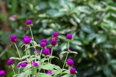 Växt av släktet Trifoliumgräs i trädgården Arkivfoto