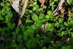 Växt av släktet Trifoliummakrofoto Royaltyfria Bilder