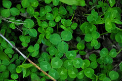 Växt av släktet Trifoliummakrofoto Royaltyfri Bild