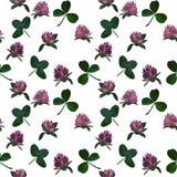 Växt av släktet Trifoliummodell Fotografering för Bildbyråer