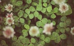 Växt av släktet Trifoliumsidor och blommor royaltyfri foto
