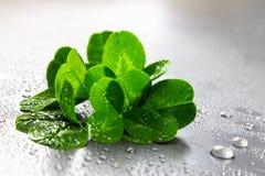 Växt av släktet Trifoliumsidor på en grå bakgrund med små droppar av vatten StPatrick 's-dag Royaltyfri Bild
