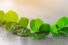 Växt av släktet Trifoliumsidor på en grå bakgrund med små droppar av vatten StPatrick 's-dag Royaltyfria Bilder