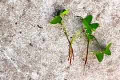 Växt av släktet Trifoliumväxter som lägger på cement Arkivbild