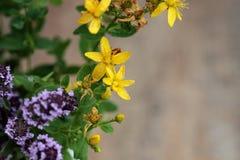växt- bakgrundsgrunddesign växt- örtmedicin för bakgrund över växtbehandlingträ Reningsverk som behandling för perforatum för med Arkivfoto
