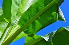 Växt - bananblad Royaltyfri Foto