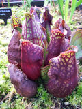 växt för 3 kanna Arkivfoto