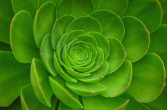 växt för aeoniumarboreumgreen Royaltyfri Bild