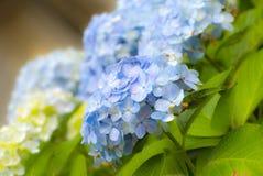 växt för ajisaihortensiavanlig hortensia Royaltyfri Bild