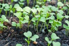 Växt för barngräsplangrodd Royaltyfri Fotografi